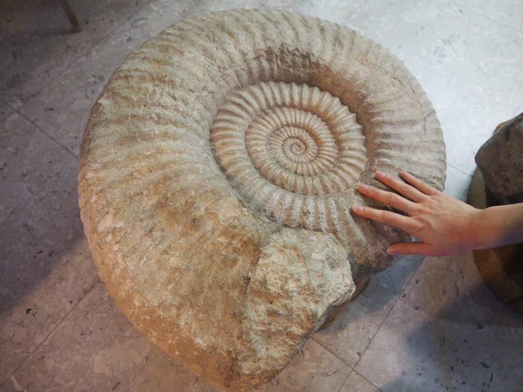 アンモナイトの化石に触れる おがの化石館