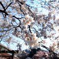 秩父 長瀞の桜開花状況のお知らせ 2017年4月6日現在