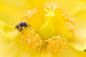 キンシバイとミツバチ 花金3