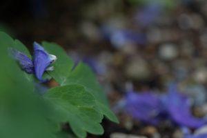 青色のオダマキ 落ちた花びら 花金4