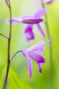 紫色の紫蘭 2つの花 花金6
